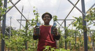 SIG Lakukan Budidaya Tanaman Buah di Area Green Belt Pabrik Tuban